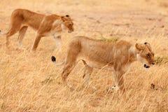 Två lejoninnor i masaien Mara Royaltyfria Bilder