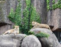 Två lejoninnor på vaggar Arkivfoton