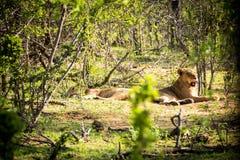 Två lejoninnor som vilar i solen Arkivbild