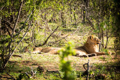 Två lejoninnor som vilar i solen Arkivfoton