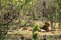 Två lejoninnor som vilar i solen Royaltyfri Fotografi