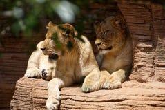 Två lejoninnor som vilar på en avsats royaltyfri fotografi