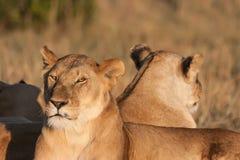 Två lejoninnor som vilar på solnedgången Royaltyfri Foto