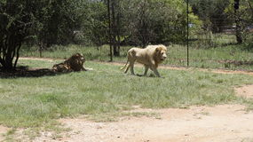 Två lejonlögner i shaden på gräset, Sydafrika Arkivfoto