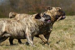 Två Olde engelskabulldoggar Arkivbild