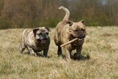 Två Olde engelskabulldoggar Royaltyfri Fotografi