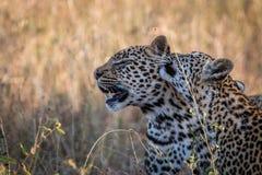Två leoparder som förbinder i gräset Royaltyfri Fotografi