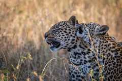Två leoparder som förbinder i gräset Royaltyfria Bilder