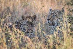 Två leoparder som förbinder i gräset Royaltyfria Foton