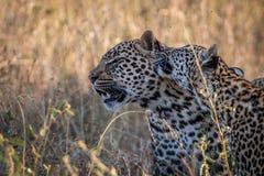 Två leoparder som förbinder i gräset Fotografering för Bildbyråer