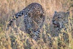 Två leoparder som förbinder i gräset Arkivfoton