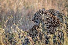 Två leoparder som förbinder i gräset Royaltyfri Foto