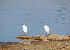 Två lilla ägretthäger på Randarda sjön, Rajkot, Gujarat Royaltyfria Bilder
