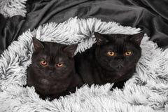Två lilla bruna kattungar Arkivfoto