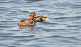 Två lilla doppingar på vattnet Arkivfoto