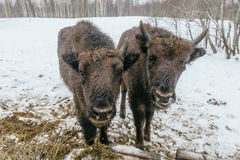 Två lilla europeiska bisonar i nationalpark Royaltyfria Bilder