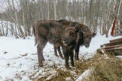 Två lilla europeiska bisonar i nationalpark Royaltyfri Bild