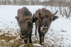 Två lilla europeiska bisonar i nationalpark Arkivfoton