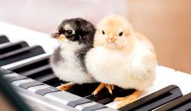 Två lilla fågelungar på pianotangenterna Utföra en musikal för att spela en duet_ royaltyfria foton