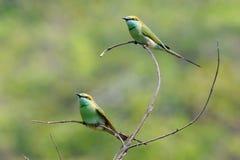 Två lilla gröna Bi-ätare som sätta sig i trädgården på Goa, sätter på land, Arkivfoto