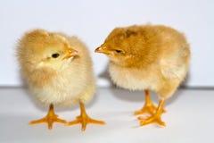 Två lilla gula fågelungar som står och ser de som är head Fotografering för Bildbyråer