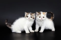 Två lilla gulliga Peridian kattungar Arkivfoton