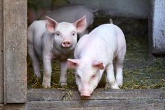 Två lilla gulliga svin på lantgården royaltyfri fotografi