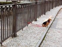Två lilla hundkapplöpning på röda kopplar sitter på gatan royaltyfria foton