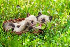 Två lilla kattungar i en korg arkivbild