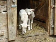 Två lilla lamm som blir i dörren i lantgård och väntar deras f Royaltyfri Fotografi