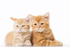 Två lilla ljust rödbrun brittiska shorthairkatter över vit bakgrund Royaltyfri Bild