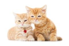 Två lilla ljust rödbrun brittiska shorthairkatter Arkivbilder