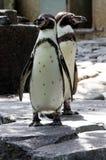 Två lilla pingvin arkivfoto