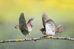 Två lilla roliga fågelsparvar på en filial i en solig vårträdgård som viftar med deras vingar och näbb under en tvist royaltyfri foto