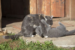 Två lilla roliga kattungar som utomhus spelar i sommar Arkivbild