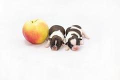 Två lilla shihtzuvalpar som sover nära det stora äpplet Royaltyfri Foto