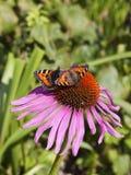 Två lilla sköldpadds- fjärilar Royaltyfria Bilder