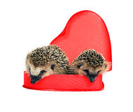 Två lilla skogigelkottar i en röd gåvaask i hjärta formar Royaltyfri Fotografi