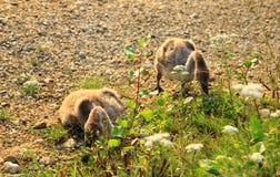 Två lilla svanar Fotografering för Bildbyråer