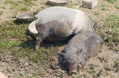 Två lilla svin badade i gyttja, en lantgård Arkivfoton