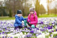 Två lilla systrar som väljer krokusblommor på härlig blommande krokusäng på den tidiga våren Arkivfoton