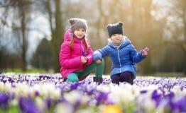 Två lilla systrar som väljer krokusblommor på härlig blommande krokusäng på den tidiga våren Royaltyfri Foto