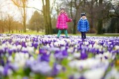 Två lilla systrar som väljer krokusblommor på härlig blommande krokusäng på den tidiga våren Royaltyfri Bild