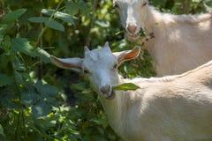 Två lilla vita getter äter hallonsidor, closeup fotografering för bildbyråer
