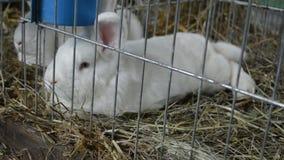 Två lilla vita kaniner i en bur stock video
