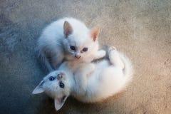 Två lilla vita katter arkivbild