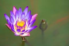Två lilor Lotus i badet morgonsolen Royaltyfria Bilder