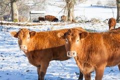 Två Limousin nötköttkor i en axel av solljus i en snöig vinter royaltyfri fotografi