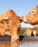 Två Limousin nötköttkor som skvallrar och delar en hemlighet på waten Fotografering för Bildbyråer