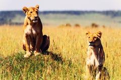 Två lionesses i den afrikanska savannaen Royaltyfri Bild